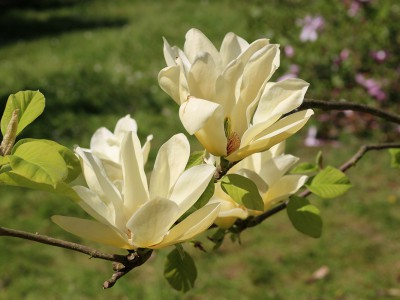 Lecą magnolie