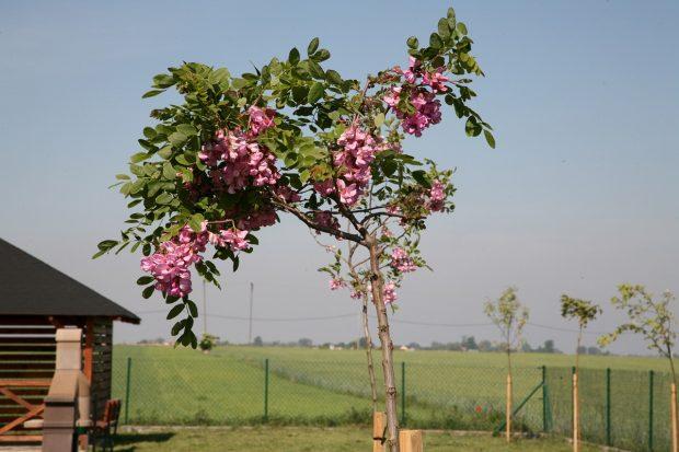 Drzewko za drzewko